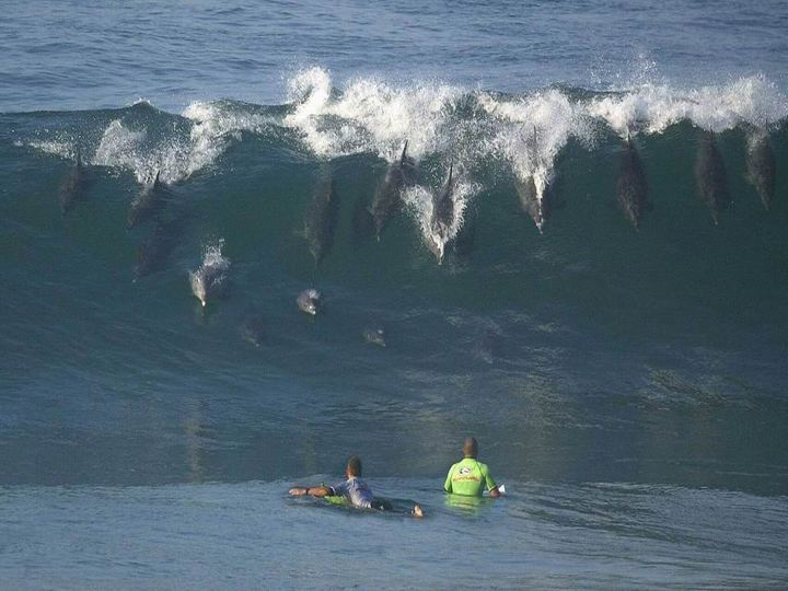 Surfing_dolphins