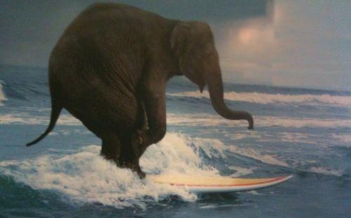 Surfing-elephant