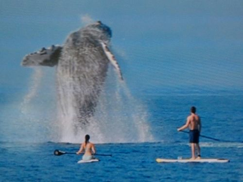 Whale stand up paddling
