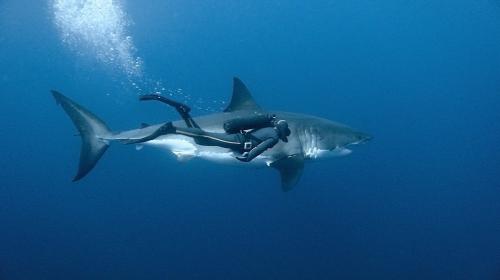 Shark helena